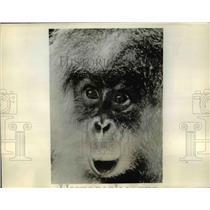 1931 Press Photo Jungle Ape Plays Title role in Rango by Ernest B. Schoedsack