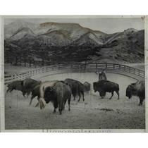 1933 Press Photo of cowboy riding herd on a group of buffalo.