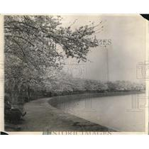 1925 Press Photo Japanese Cherry Trees Blossom at Washington Tidal Basin