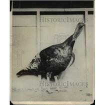1924 Press Photo Turkey Names Sultan Wins $250 Prize in Poultry Show - nee37914
