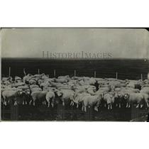 1918 Press Photo Sheep in a field