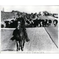 1970 Press Photo Darlington Wisconsin, cattle drives to plat cowboy - nee47839