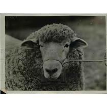 1925 Press Photo Agricultural Show at Tunbridge Wells, sheep - nee45227