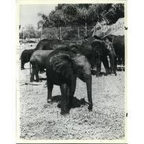 1984 Press Photo African Lion Safari Amusement Parks