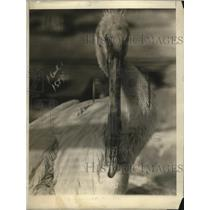 1921 Press Photo A pelican at Central Park zoo in NYC