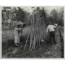 1982 Press Photo Tim Brotzman and Jeff Brotzman moving bare root trees