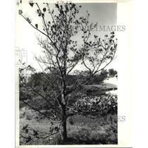 1988 Press Photo Cornus Florida, Flowering Dogwood, East US - cva80521