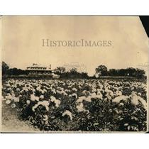 1924 Press Photo Fields of Peonies owned by Henry S.Cooper retired manufacurer