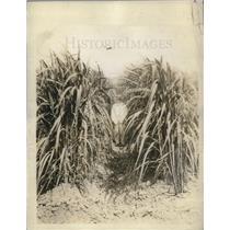 1929 Press Photo Farmer stands among sugar cane stalks - neb67490
