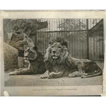 1921 Press Photo A male & female lion pair at a zoo