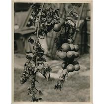 1930 Press Photo Pear Tree