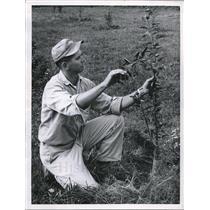 Undated Press Photo New Apple Tree checked by Joe Bunhan of Burnham Orchard