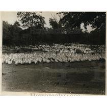 1926 Press Photo Weber Duck Inn of Wrenthen Massachusetts 85,000 Ducks