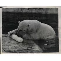 1957 Press Photo Polar bear holds melting ice in his enclosure at Rome Zoo