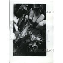 1977 Press Photo Filberts, where they were struck by heat show sunburn damage