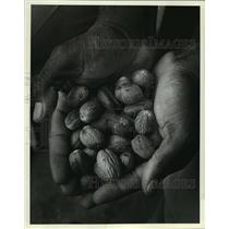 1981 Press Photo Handful of Nutmeg from Gouyave, Grenada - mja03524