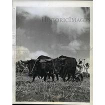 Press Photo Peanuts & rice are plowed & cultivated at Dominican Republic