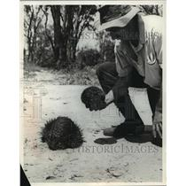 1971 Press Photo Zoologist Harry Frauca inspecting an Echidna - mja13911