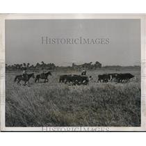 1939 Press Photo Seminole-bred cattle grazing on a reservation near Brighton, FL