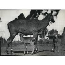 1928 Press Photo Nilgai antelope in the San Diego, California Zoo - spa23940