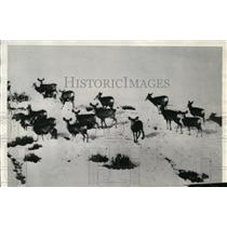 1935 Press Photo Herd of deer searching for food at Sapinero, Colorado