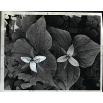1974 Press Photo Garden Flowers Trillium - orb11627