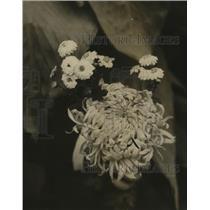 1926 Press Photo Pompom Turner Chrysanthemum Flowers - nef08812