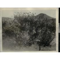 1926 Press Photo Shows Guayule and Desert Milk Week Growing In San Diego County