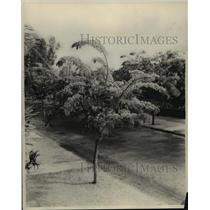 1929 Press Photo Pink Shower, Hawaii. - mjx16399