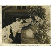 1938 Press Photo Mule Eats Tree from Float at Mardi Gras, New Orleans