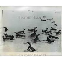 1946 Press Photo Penguins enjoys swimming at the Dassen Island Capetown
