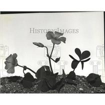 """1982 Press Photo Woodsorrel oxalis, claimed by many to be the """"real"""" shamrock"""