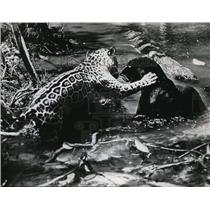 1960 Press Photo Jungle Cat engages in rough-type courtship with a panther