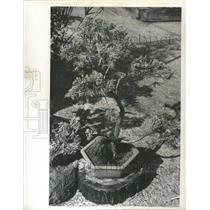 1974 Press Photo Blue Vase Juniper plant Garden Mud - RRY39953