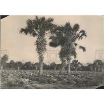1920 Press Photo Cabbage Field - nef68060