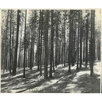 1950 Press Photo A beautiful stand of pine trees. - spb11448
