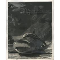 1953 Press Photo Remora Suckerfish on Shark in Ocean - mjb14897