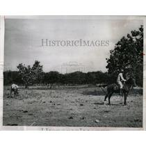 1964 Press Photo Venezuelan Roping Cattle Method