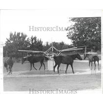 1973 Press Photo Horses are walked for cool down at Houston Polo Club