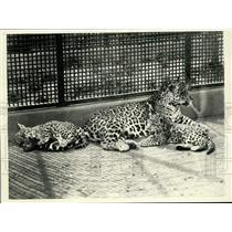 1933 Press Photo Mother jaguar with her cubs at the Washington, D.C., Zoo