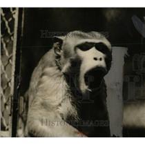 1925 Press Photo Monkey - RRW70057