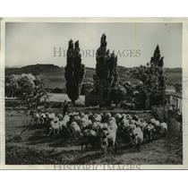 1951 Press Photo Dairy Scene in New Zealand. - mjc35592