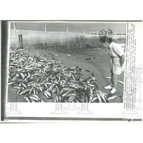 1972 Press Photo Red Tide Fish Kill Boynton Beach FL