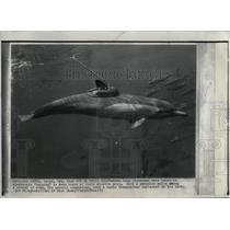 1973 Press Photo Porpoise with tuna - RRX54921
