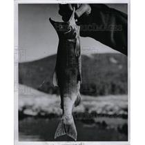 1964 Press Photo Kokanee Salmon