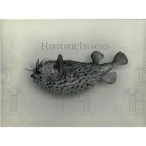 Press Photo porcupine fish - RRW92289