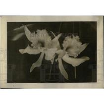 1916 Press Photo Flower Show. white Orchid - RRW69671