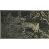 1928 Press Photo Mountain Lion Colorado New Mexico - RRX81199