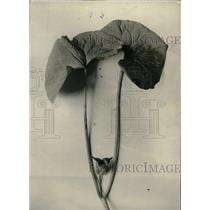 1929 Press Photo Wild Ginger Clarke asarum canadense - RRW97609