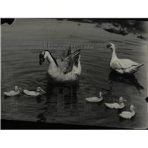 1930 Press Photo African Dewlap With Muscovy Ducklings - RRW90259